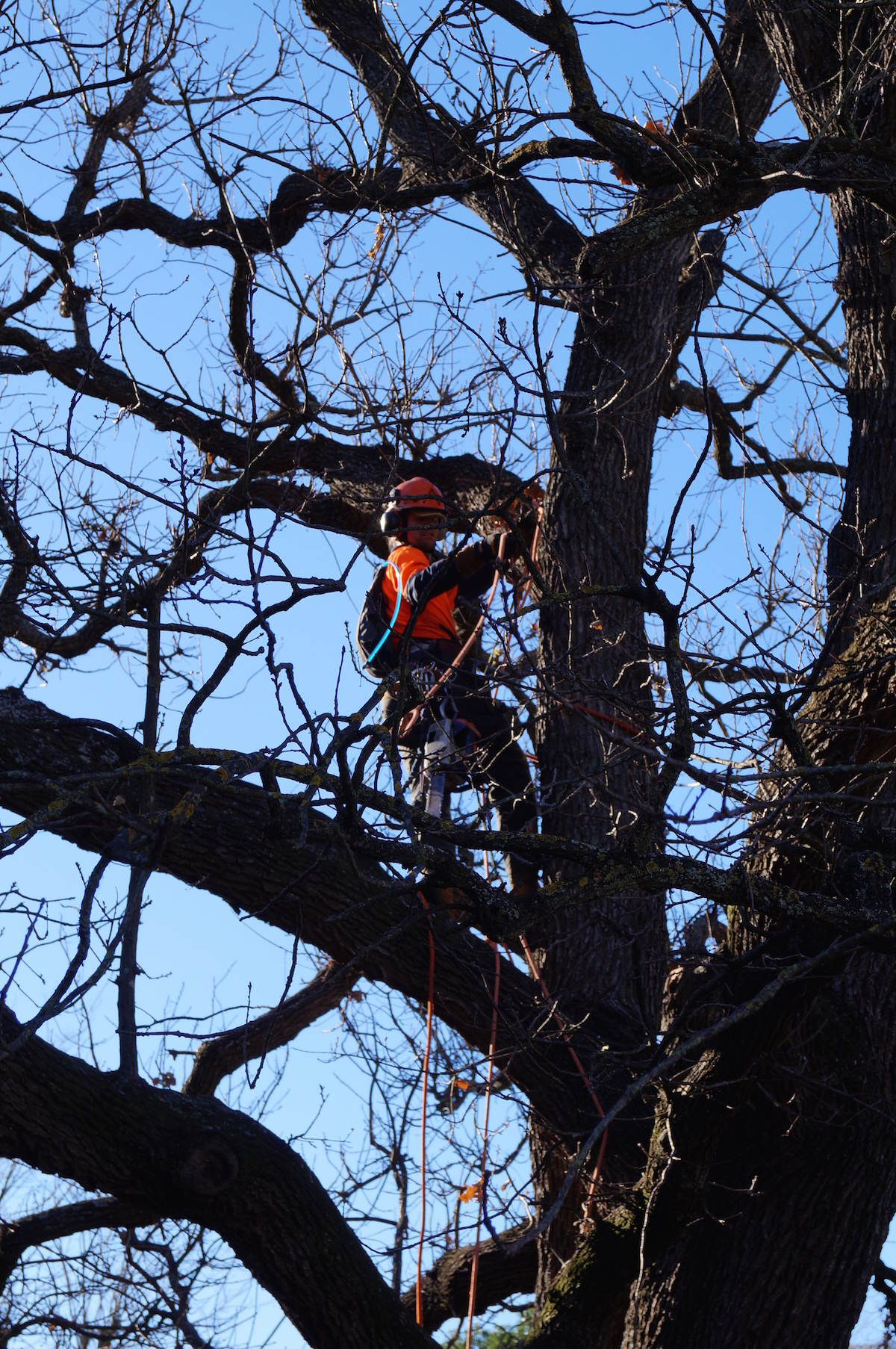 English Oak Tree Maintenance - oak tree maintenance