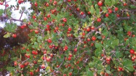 noxious weed clearing - african boxthorn