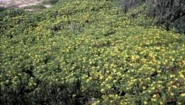noxious weed clearing - bitou bush
