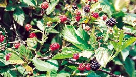 noxious weed clearing - blackberry
