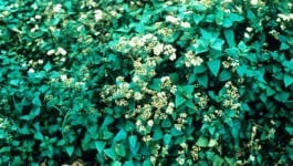 noxious weed clearing - crofton weed