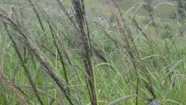 noxious weed clearing - giant parramatta grass
