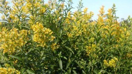 noxious weed clearing - green cestrum