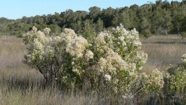 noxious weed clearing - groundsel bush