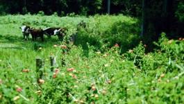 noxious weed clearing - lantana