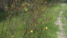 noxious weed clearing - long-leaf willow primrose