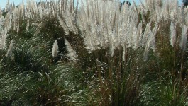 noxious weed clearing - pampas grass