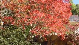 noxious weed clearing - rhus tree
