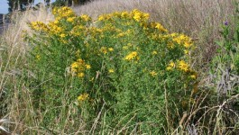 noxious weed clearing - st johns wort