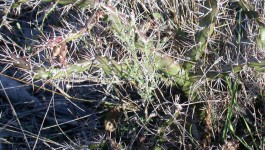 noxious weed clearing - tiger pear