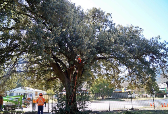 Men Is Climbing A Tree For Inspection Holding Red Tape In Hand