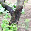 An apple tree's trunk blackened by disease.