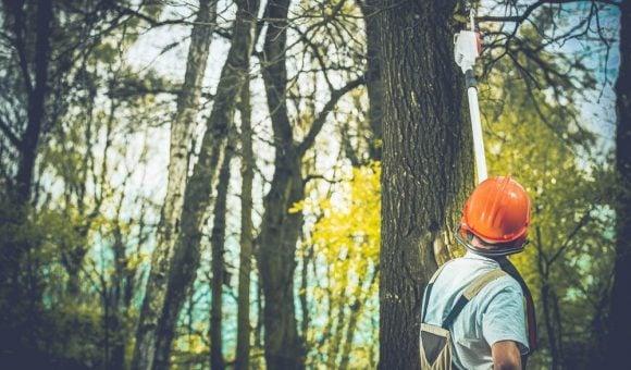 A professional tree surgeon preparing to fell a tree.