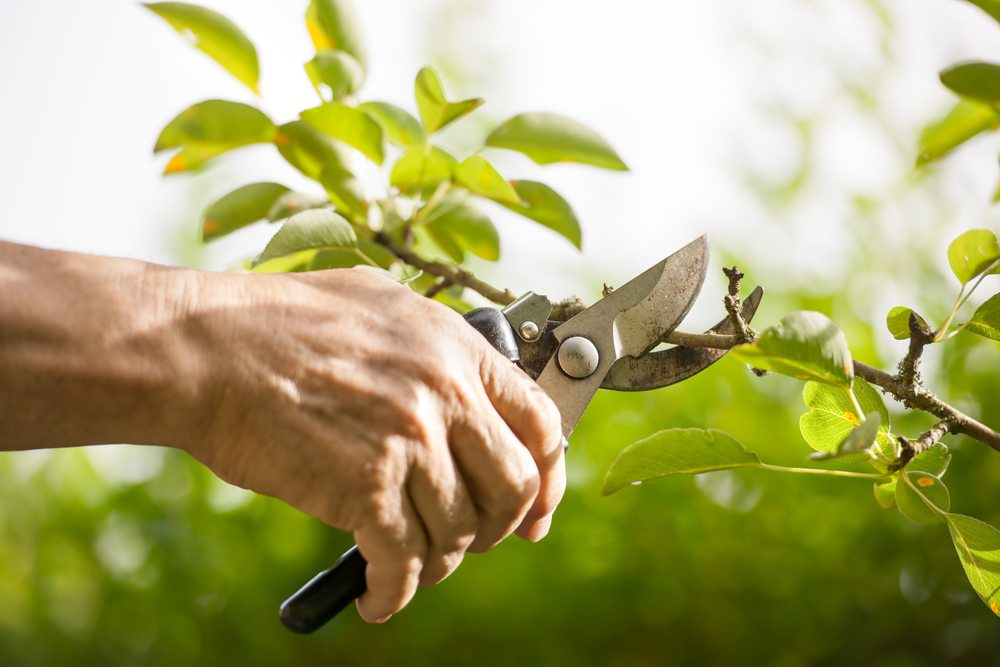 Pruning a branch with secateurs