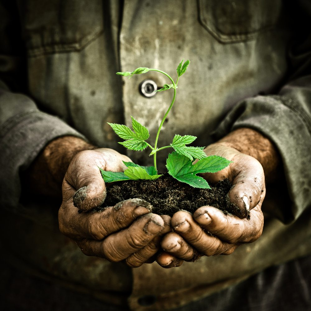 An old man's hands holding a young tree in soil.